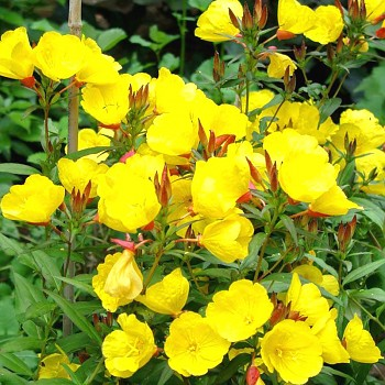 PUPALKA ´GOLDEN YELLOW ´ (Oenothera tetragona ´Golden Yellow´)