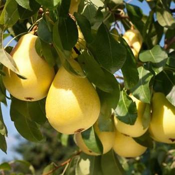 HRUŠEŇ SOLANKA - stará odrůda