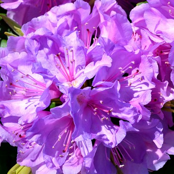 RHODODENDRON ´CATAWBIENSE BORSAULT´ 1,5L