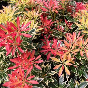 PIERIS ´FLAMING SILVER´( Pieris japonica Flaming Silver)