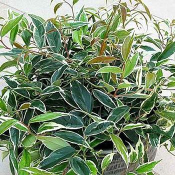 LEUCOTHOE ´WHITEWATER´(Leucothoe fontanesiana Whitewater) )