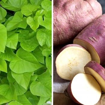 BATATA ´ERATO®  WHITE´- sladká brambora - kont 1,2L