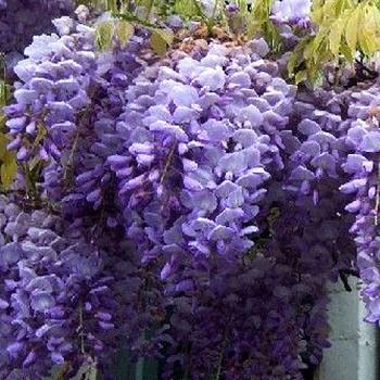 VISTÁRIE ČÍNSKÁ  (Wisteria sinensis) kont. 2L